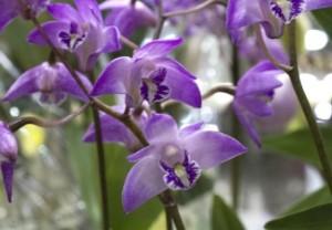 dendrobium orchids blue