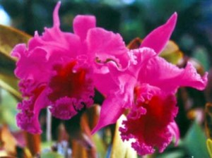 Cattleya Orchid for sale