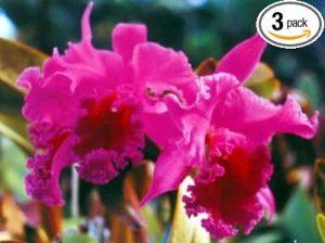 Cattleya Orchid Starter