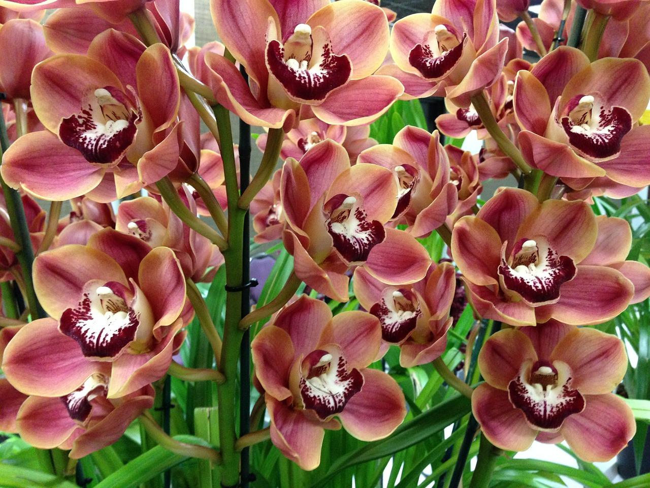 Cymbidium Orchids How To Grow