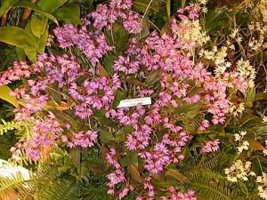Dendrobium kingianum for sale