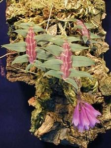 Dendrobium limpidum