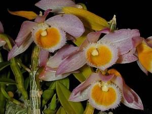 Dendrobium loddigesii - Orchid Plant