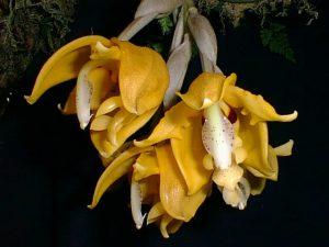 Stanhopea peruviana