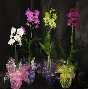 FLOWERING Dendrobium Orchid Plant