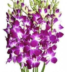 Fresh Flowers - Purple Dendrobium Orchids
