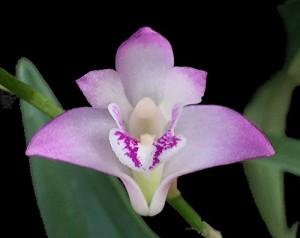 Orchid Insanity Dendrobium kingianum