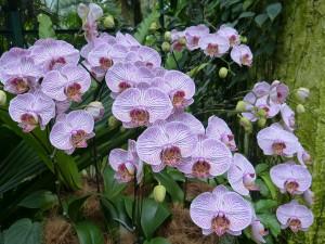 hybrid phalaenopsis