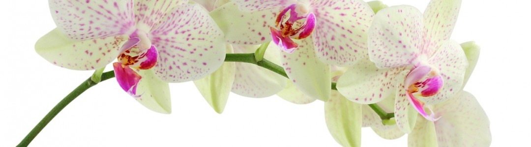 orchid image 4