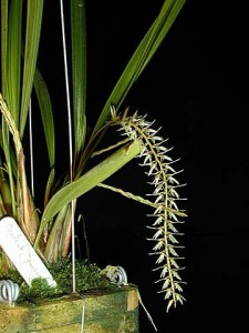 Dendrochilum yuccifolium