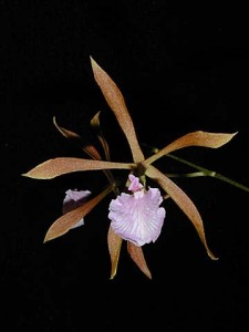 Encyclia bractescens