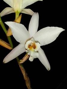 Laelia anceps v. dawsonii