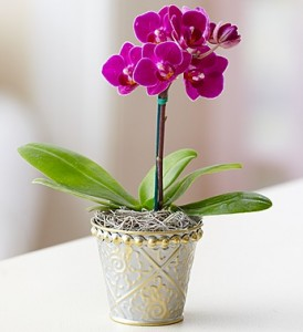 Mini Purple Phalaenopsis Orchid