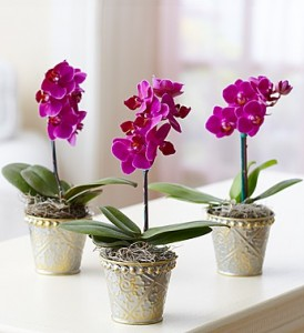 Miniature phalaenopsis orchids for sale