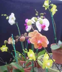 Phalaenopsis Orchid Hybrids for sale