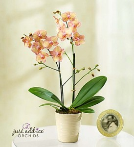 Superior-quality Double Spike peach Phalaenopsis orchid