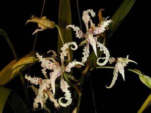 Odontoglossum ramosissimum