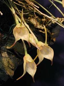 Masdevallia floribunda - Orchid Plant