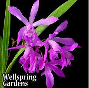 Ground Orchid - Bletilla Striata