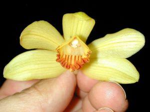Phaius maculatus