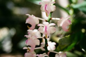 Aerides odorata Bloom size