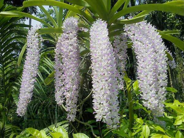 Rhynchostylis gigantea flowers