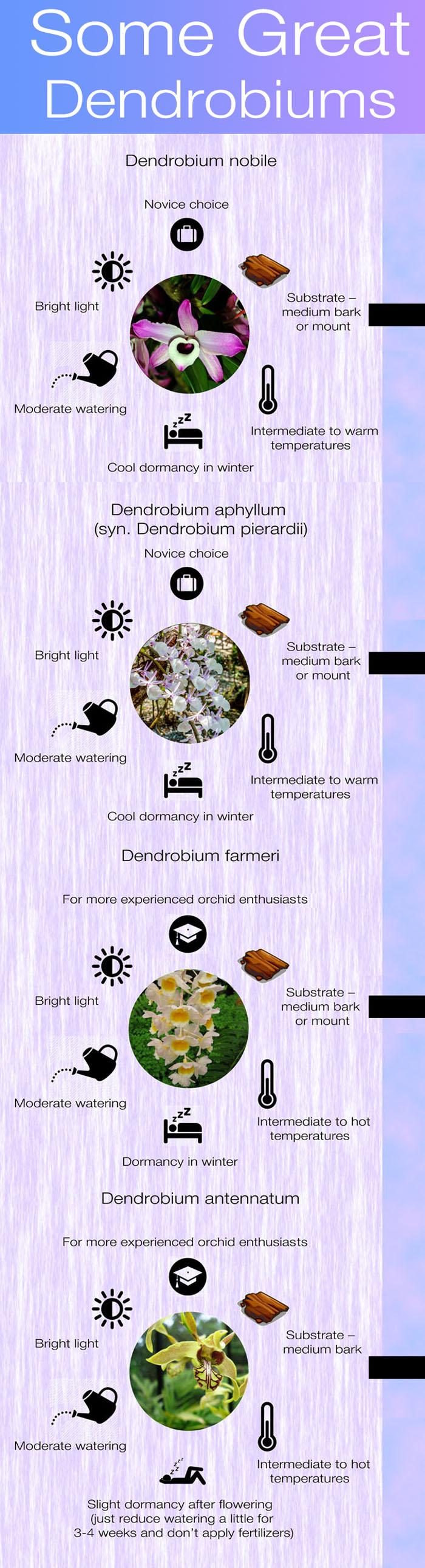 Dendrobiums infographics