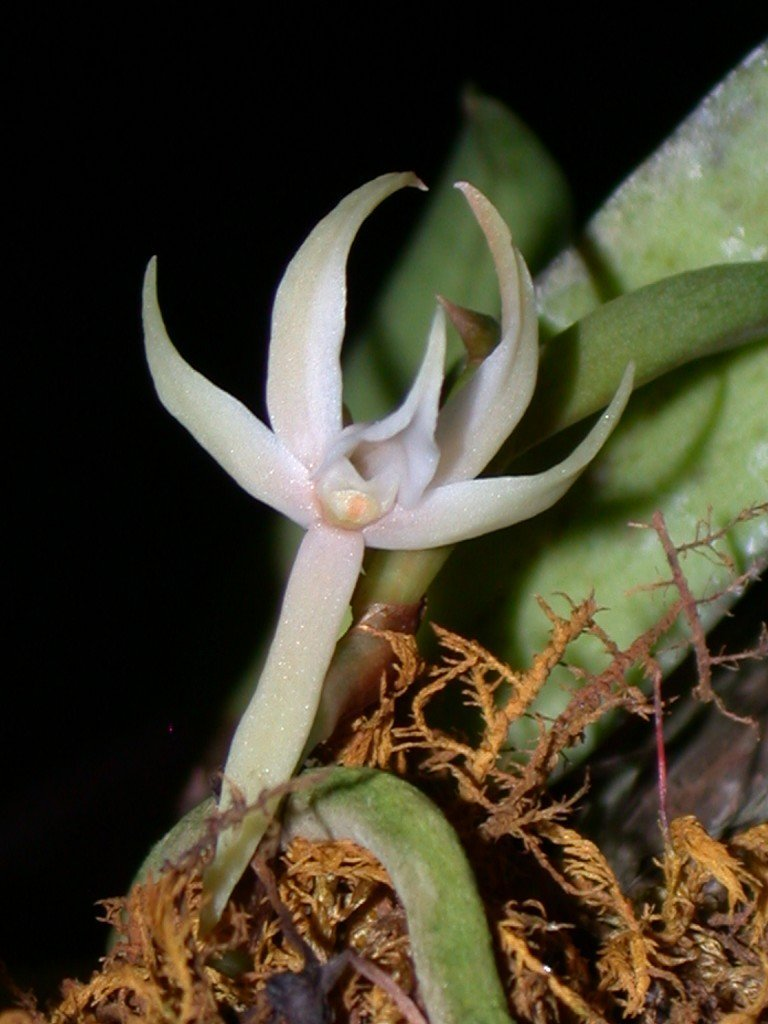 Angraecum Orchids Species And Care