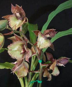 Catasetum Frilly Doris