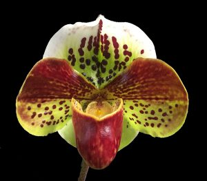 Lady Slipper Orchid Complex Hybrid