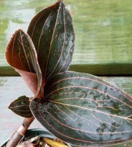 Jewel Orchid Ludisia Discolor