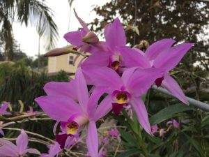 Laelia anceps orchid
