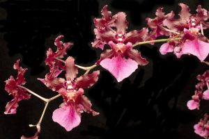 Oncidium Sharry Baby SEEDLING