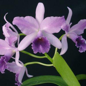 Cattleya mary elizabeth