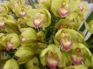 Cymbidium Enzan Olive Emerald Feather