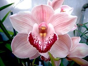 Cymbidium cute pink blooms pendulous flower spike