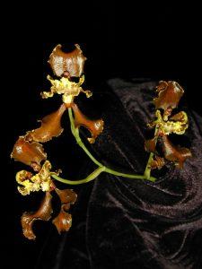 Oncidium falcipetalum