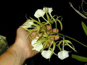 Brassavola grandiflora