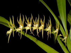 Brassia warszewizcii