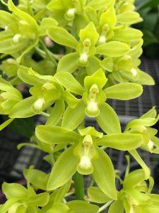 Grammatophyllum scriptum VAR citrinum