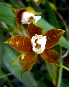 Miltonia Candida orchid