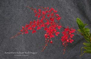 Renanthera Kalsom Red Dragon
