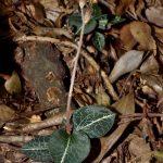 anoectochilus formosanus orchid species plant