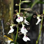 encyclia cordigera orchid species flower