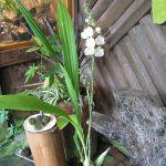 peristeria elata orchid species full plant