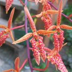 Renanthera matutina orchid species flower
