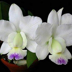 Clean white flowers!!! Rlc Hawaiian Wedding Song /'virgin/' Cattleya orchid plant