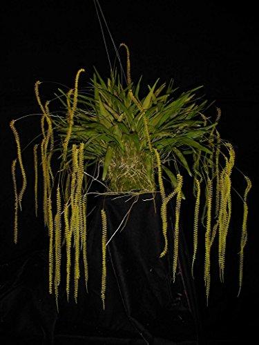 Dendrochilum Filiforme Orchid Plant Fragrant