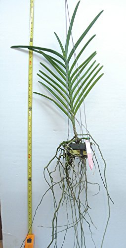 Orchid Vanda Mamo Somjit Bangyikhan Blue Stock 343