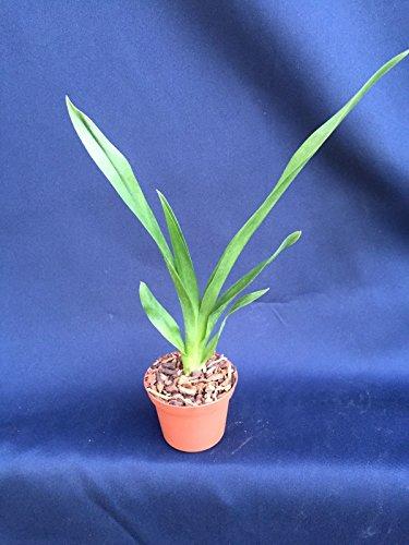 Nohacidium Parquet Uptown Girl Quot Oncidium Type Orchid